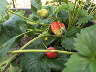 A picture to show nearly ripe home-grown strawberries